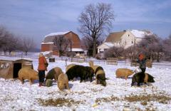 49_01_01-jan-feeding-hogs.jpg
