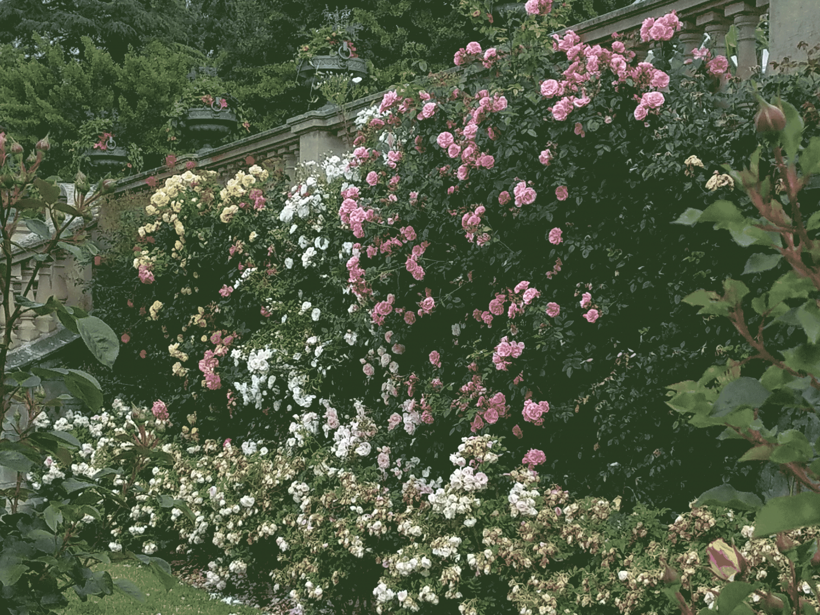 Wall-of-Roses.png