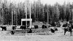 yellowstone bears.jpg